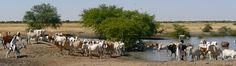 https://flic.kr/p/5QuvJf | Khartoum - North Kordofan | Nog een half uur rijden van Khartoum. We rijden door een droge vlakte. Aan weerszijden van de baan en zover de horizon reikt zien we grote kudden van runderen. De herders ( Baggara) begeleiden ze naar de verschillende drinkplaatsen.
