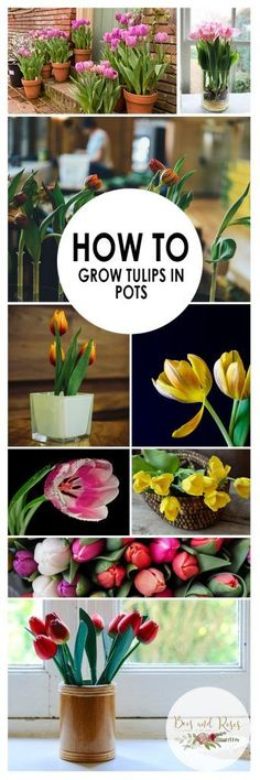Indoor Container Gardening How to Grow Tulips in Pots - Start container gardening tulips today! Growing tulips in containers is super simple and easy, just use my container gardening method and tips! Grow the most gorgeous tulips today! Backyard Garden Design, Backyard Landscaping, Backyard Ideas, Oasis Backyard, Large Backyard, Landscaping Ideas, Growing Tulips, Shabby Chic Garden, Tropical Garden