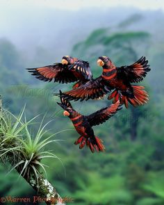 Dusky Lories in flight (Dusky Lory (Pseudeos fuscata)