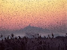 Hundreds of thousands of Starlings congregate in a murmur above the Somerset Levels. In the backgorund is the silhouette of Glastonbury Tor. Photo: Lynne Newton