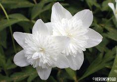 Anemone nemorosa 'Vestal' -- a must have for my garden