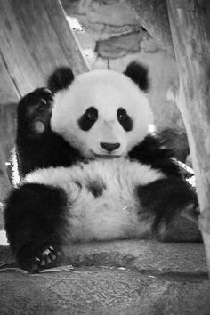 I love Pandas! Happy Panda, Panda Love, Love Bear, Cute Panda, Panda Panda, Animals And Pets, Baby Animals, Cute Animals, Wild Animals
