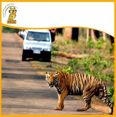 Kanha national park has significant population of Royal Bengal tiger. Among all tigers, Munna is a most well-known tiger; he is famous for his size also on his big head word 'CAT' has been written. Word Cat, Bengal Tiger, National Parks, Cats, Tigers, Animals, Big, Gatos, Animais