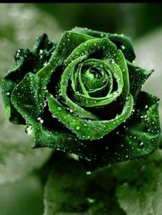 Dark Green Rose - Free Wallpaper Download - MobCup