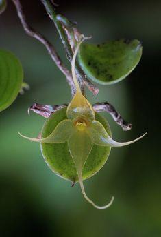 Brachionidium species by Daniel-CR, via Flickr