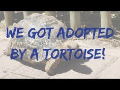 We Got Adopted By A Tortoise! | Kaboutjie Pet Care, Tortoise, Adoption, Cute Animals, Pets, Blog, Tortoise Turtle, Foster Care Adoption, Pretty Animals