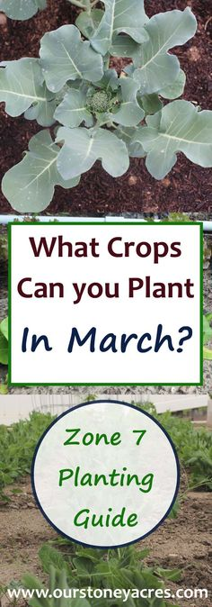 Today's March Planting Guide for Zone 7 comes to you from Ann Caliri over at the blog LiveTheOldWay.com. In Zone 7, we're officially dreaming of spring. We're starting seedlings indoors, organizing our gardening tools and giving the garden beds a final tilling. Even though it's still too cold for the plants that typically come to mind when we talk about our gardens, it's a perfect opportunity to lay in a crop of cool weather vegetables.