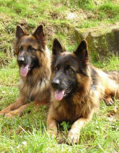 Long coat german shephards! Beautiful dogs :)