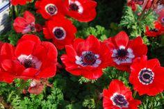 アネモネ、クローズアップ、赤、花