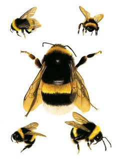 Bee Study Illustration Save The Bees Archival Print 8x11