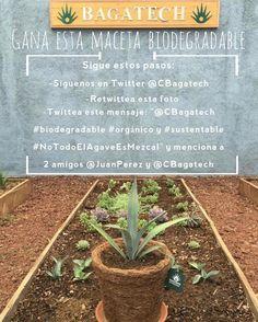 Siguenos en Twitter @CBagatech y sigue los pasos que están en la imagen para ganarte una maceta #biodegradable con un #agave Espadín. Solo envíos dentro del país #México diremos quien es el ganador el lunes 2 de Mayo.  #orgánico #sustentable #NoTodoElAgaveEsMezcal #mezcal #sustainability #sustainable #organic #picoftheday #photooftheday #igersoaxaca #vivi_oaxaca #igers #igersmexico #Oaxaca #México by colectivobagatech April 26 2016 at 04:06PM