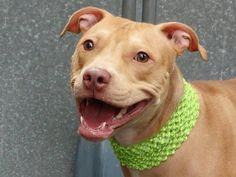 GONE - BE AT PEACE - 10/22/13 Manhattan Center-P~ BROCOLLI. ~ID #A0982166.Female red pit bull mix.ONLY 1 YR OLD-a baby!!!.STRAY10/15/13. She had a litter not long ago. Broccoli is very friendly, sociable, plays ball and is house trained. Did well on behavior exam except for guarding(play?) behavior w/ bone & toy. She is a playful, affectionate and very spirited girl who is so eager to have a real owner or family who will give her a home in exchange for unconditional love and companionship.