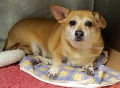 Manhattan center LADY – A1079969  SPAYED FEMALE, TAN / WHITE, WELSH CORGI CAR MIX, 7 yrs OWNER SUR – EVALUATE, NO HOLD Reason MOVE2PRIVA Intake condition EXAM REQ Intake Date 07/05/2016, From NY 10034, DueOut Date 07/05/2016