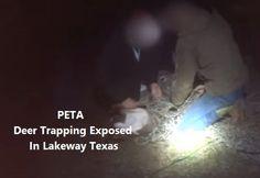 PETA Deer Trapping Exposed In Lakeway Texas. Men sawed off their antlers.