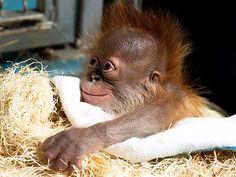 Orangutan Born at Zoo Atlanta After Emergency C-Section