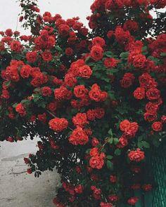 Red roses are a true classic. Flower Aesthetic, Red Aesthetic, Aesthetic Pictures, My Flower, Beautiful Flowers, Flowers Nature, Rose Wallpaper, Landscape Illustration, Illustration Art
