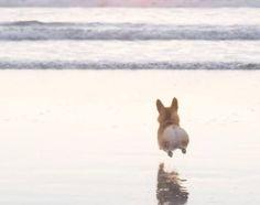 corgi-and-the-ocean-love-those-little-legs