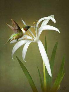 """Hummingbird and Wild Swamp Lily"" by spadecaller, 2015 , Swamp Lily, Framed Wall Art, Wall Art Prints, Fairy Tail Symbol, Hummingbird Art, Lily Bloom, Natural History, Folk Art, Clip Art"