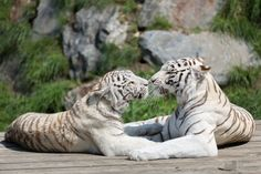 Mother and daughter white tigers