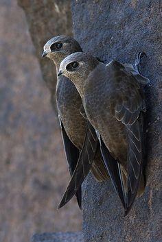 Foto taperuçu-velho (Cypseloides senex) por Frodoaldo Budke | Wiki Aves - A Enciclopédia das Aves do Brasil