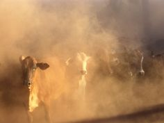 Dusty Cattle Muster, Cape York Peninsula, Australia Photographic Print by Oliver Strewe at Art.com