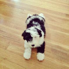 Sheepdog + poodle = a sheepadoodle!