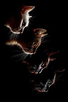 """""""One cat just leads to another."""" --Ernest Hemingway (ᵔᴥᵔ)"""