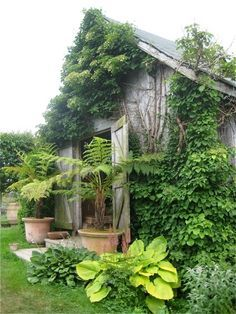 Lime green Hosta, old barn entrance, landscaping, container gardening