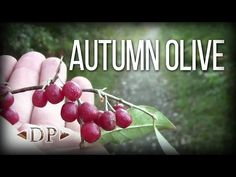 Autumn Olive - Wild Edibles