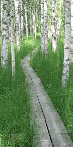 A birch forest in Finland. Love the long grass either side of a narrow walkway. A birch forest i Landscape Architecture, Landscape Design, Garden Design, Wood Path, Birch Forest, Forest Path, Birch Trees, Path Ideas, Exterior