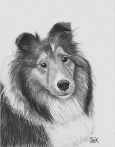 drawing Collies   Rough Collie Drawing - Rough Collie Fine Art Print