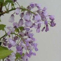 La Glycine est une grimpante de croissance rapide à généreuse floraison odorante au printemps. Découvrez comment la planter, la tailler et la bouturer.