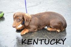 NEW HAMPSHIRE ~ meet Kentucky an #adoptable Dachshund in Chichester .Kentucky was born March 7, 2012 and he is a purebred brown and tan long haired dachshund.  His owner's dog had a litter of pups and now they need great homes. #Adoption fee for dogs: $465 (this includes $140 non-refundable transport fee from the south to New England + other vet costs) if you'd like to #adopt Kentucky pls fill out Happy Dogs of New England  #adoption app http://www.happydogsofnewengland.org/guest_book.html
