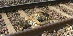 Protect Tigers from Train Collisions in India   A 10 month old tiger cub was run over by a speeding train and killed on the Gondia-Chandrapur railway line near Kelzar, India, a few weeks ago. A second cub was critically injured. Click for details of man things that can be done to help stop this and please SIGN and share petition. Thanks.