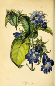 Nuttallia from Paxton Magazine Botany Antique Prints 1834 Vintage Botanical Prints, Botanical Drawings, Antique Prints, Botanical Illustration, Illustration Art, Nature Illustrations, Botanical Flowers, Botanical Art, Nature Prints