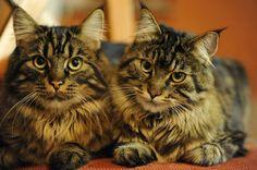Maine Coon cats -  DayDreams by Manu34.deviantart.com on @deviantART