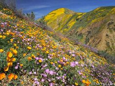 """After 5 years of exceptional drought, California deserts have exploded with """"superblooms"""" of wildflowers following the wet winter."""