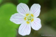 Il significato del fiore Acetosella è Gioia.