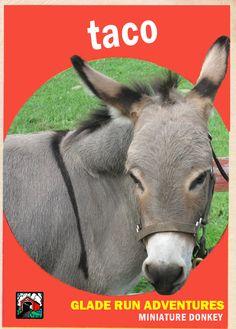 Taco our miniature donkey