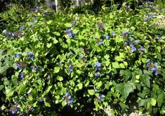 Ceratostigma plumbaginoides Bunge Vascular Plant, Flora, Projects, Italia, Log Projects, Plants
