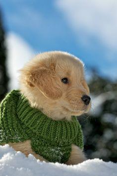 Oliver #goldenretriever #puppy