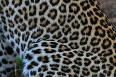 Leopard coat has Rossettes with no dots in the center.