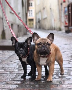 Lola & Pepe, French Bulldogs