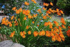 Crocosmias - although they like a lot of sun Part Sun Perennials, Planter Beds, Lily Garden, Crocosmia, Garden Inspiration, Garden Ideas, Enchanted Garden, Back Gardens, Orange Flowers