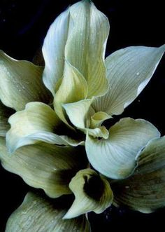 Grey Ghost hosta. comes up white in spring then greens out