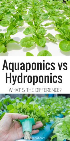 Hydroponics Are you interested in growing your own food? Have you seen the words hydroponics and aquaponics thrown around?Are you wondering what the difference is?This article is all about aquaponics vs hydroponics and which will be better for you. Aquaponics System, Hydroponic Farming, Aquaponics Greenhouse, Hydroponic Growing, Aquaponics Fish, Aquaponics Supplies, Organic Hydroponics, Diy Hydroponics, Growing Plants
