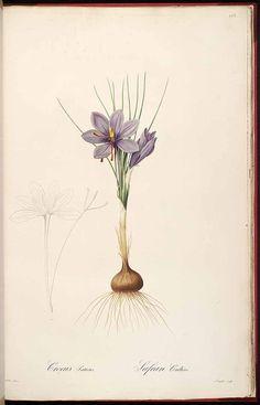 redoute botanical print crocus