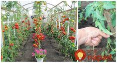 Vyväzovanie paradajok je veľmi prospešné – vďaka nemu sa vyhnete chorobám, plesni a poskytnete mladej rastlinke oporu, ktorú potrebuje. Pozrite sa, ako to robia profíci!