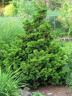Chamecyparis obtusa 'Pygmaea': Dwarf Hinoki Cypress.  Compact evergreen with fan-like foliage.  Color of leaves change in summer and winter.  Tough conifer, will tolerate drought. Height 1ft., Spread 2ft.