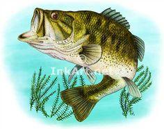 www.inkart.net animals drawings freshwater_sports_fish images largemouth_bass.jpg